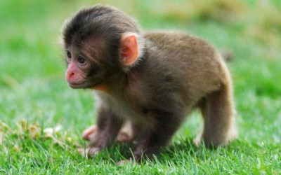 One of a trio of Japanese macaques (snow monkey) that were born at Highland Wildlife Park in Scotland.  Picture: Jon-Paul Orsi/Highland Wildlife Park/PA