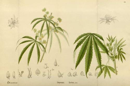 Cannabis sativa L. From: Millspaugh, C.F., Medicinal plants, vol. 2: t. 154 (1892)