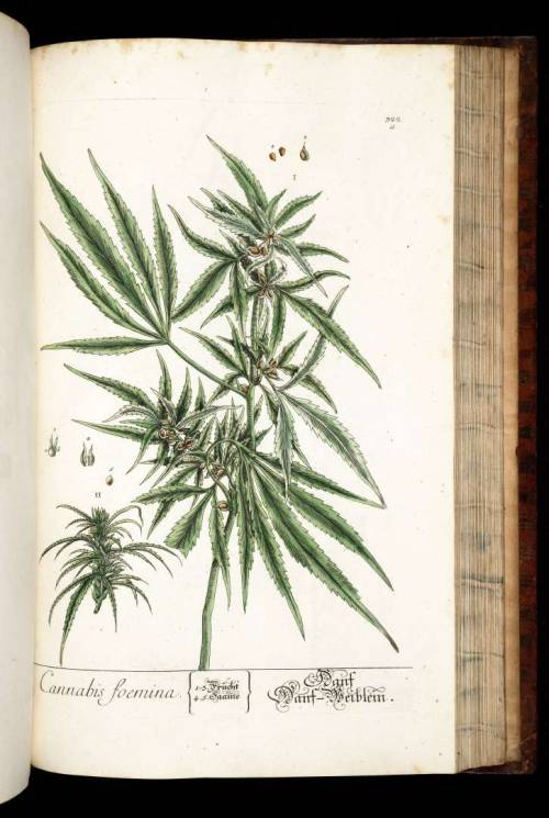 Hemp - Cannabis sativa L. From: Blackwell, E., Herbarium Blackwellianum, vol. 4: t. 322a (1760)