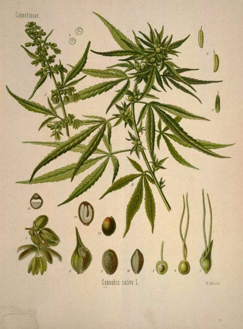 Cannabis sativa L. From: Köhler, F.E., Medizinal Pflanzen, vol. 1: t. 13 (1887)