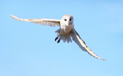 apairofblueeyes:   A barn owl in flight