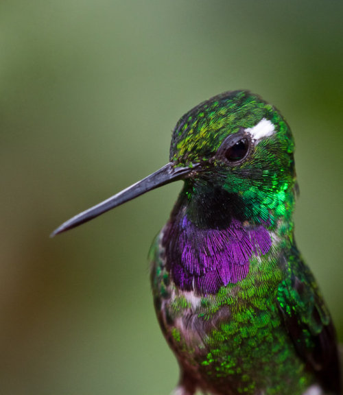 fairy-wren:  purple-bibbed whitetip (photo by rich miller)