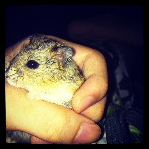 She pregnant dah :D #cute #lovely #hamster  (Taken with instagram)