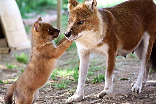 ENDANGERED SPECIES SPOTLIGHT- Dhole (a.k.a. Indian Wild Dog)