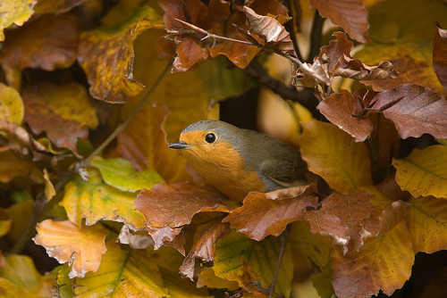 fairy-wren:  european robin (photo by m.geven)