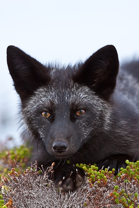 the-narwhal-orchestra:  Young Black Fox in the Wild 7 by *Bonavista-Tim
