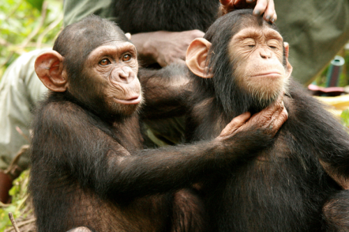 typewritertea:  Tchimpounga Chimpanzee Rehabilitation Center chimpanzees generally do heal over time and recover from the trauma of losing their families.  Photo: JGI/Fernando Turmo  (Sanctuary chimpanzee pictured. JGI does not endorse handling or approaching wild chimpanzees.) via: The Jane Goodall Institute