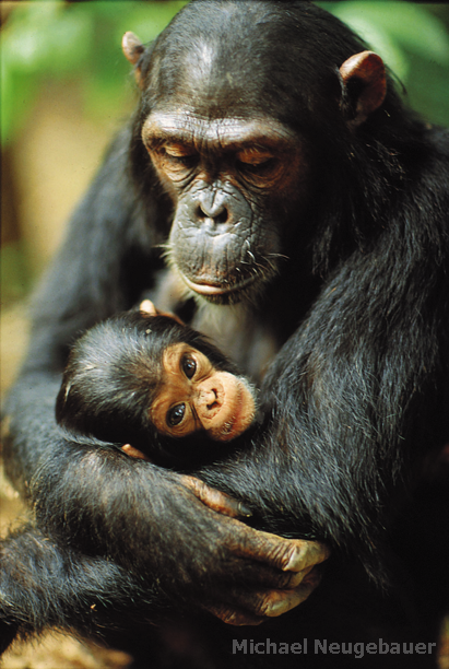 typewritertea:  Gombe chimpanzee Fanni cradles her newborn, Fax. Gombe National Park  via: The Jane Goodall Institute