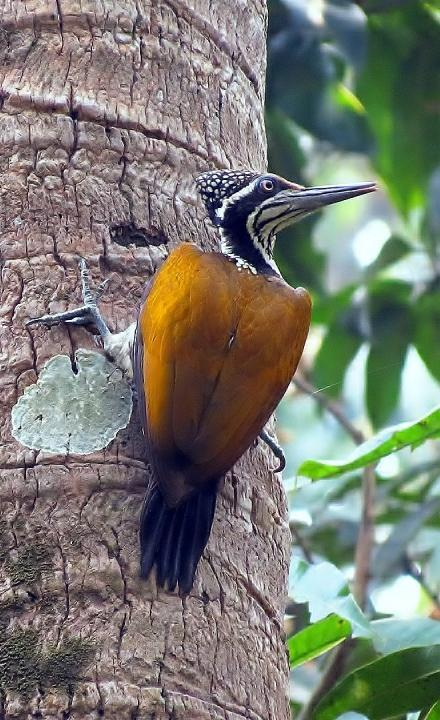 Greater Flameback (Chrysocolaptes lucidus) (via A female bird on a coconut tree trunk)
