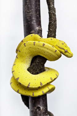 kingdom-of-animals:  Australian Green Tree Python - Juvenile by ramzee86