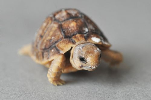 theanimalblog:  Endangered Egyptian Tortoises