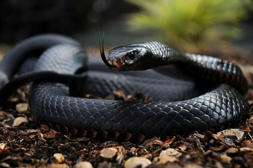 kingdom-of-animals:  red belly black snake by ozzieimages on Flickr.