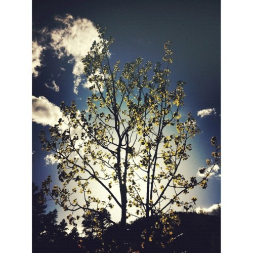 Leaves // #leaves #tree #aspen #colorado #coloradical #evergreen #deciduous #sky #skyporn #igers #ignation #webstagram #photooftheday #picoftheday #pictureoftheday #iphonesia #iphoneonly #instagood #instaneat #grmedia #jj #instagramers #igaddict #iphonesia #jj_forum #instagramhub #iphone4 (Taken with instagram)