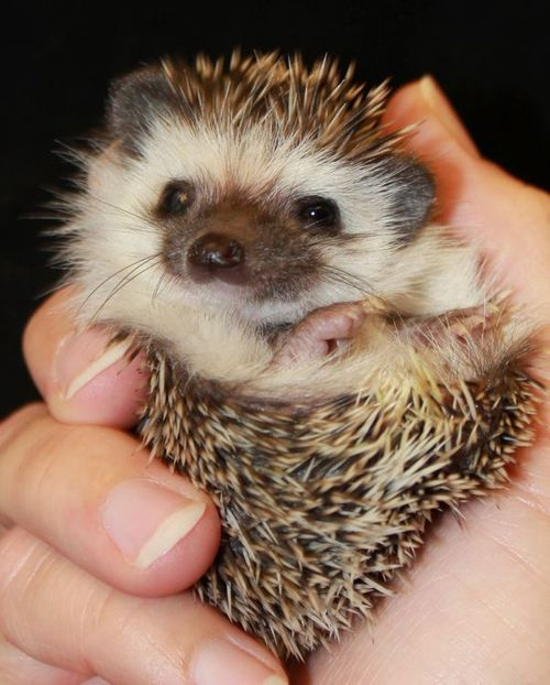 theanimalblog:  Baby Hedgehog