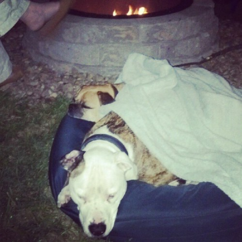 #chillininbed #bythefire #postedup #brothers #pitbull #puggle #dog #dogs (Taken with instagram)