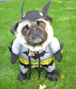 Bat-pug lol too cute
