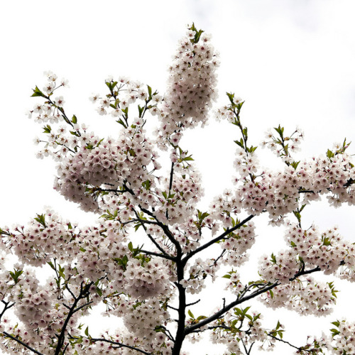 Cherry tree blossom by PeterN (-I-) on Flickr.