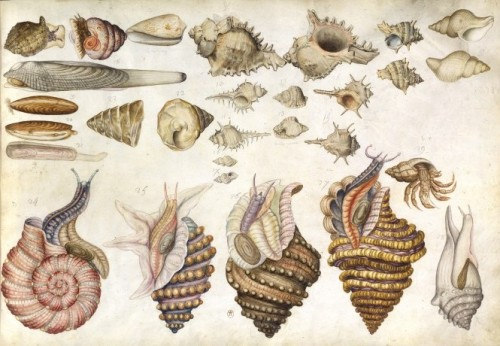 nends:  Claude Aubriet (1665-1742) - Album de coquillages et poissons