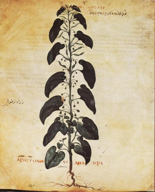 German: A plant image, Aristolochia (Dutchman's Pipe), from the Vienna Dioscorides manuscript, ca. 512 AD. Aristolochia are classified as a Group 1 carcinogen by the International Agency for Research on Cancer.