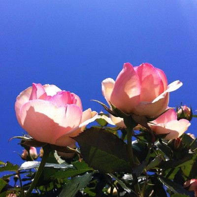 #rose #flowers #flower #sky (Taken with instagram) @instacanv.as