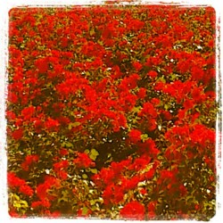 #red #roses #living #together / #rosas #rojas viviendo juntas / #instagram #igers #nature #flowers #plants #flower #plant  (Tomada con instagram)