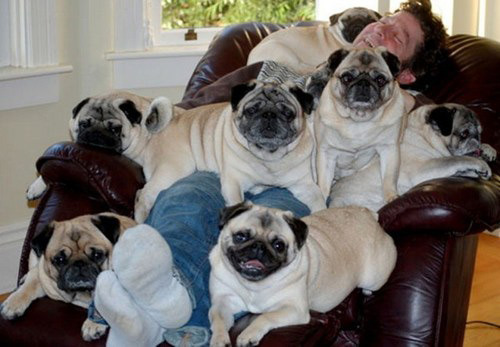 Good amount of pugs