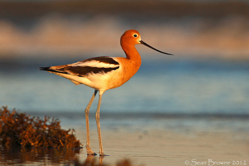 American Avocet  by gashuffer on Flickr.