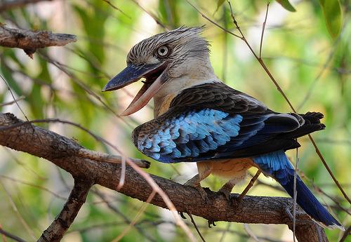 Male Blue-winged Kookaburra (pormark.helle)