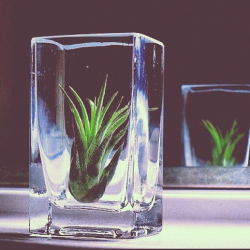 opus77:  AirPlants (Instagramで撮影)
