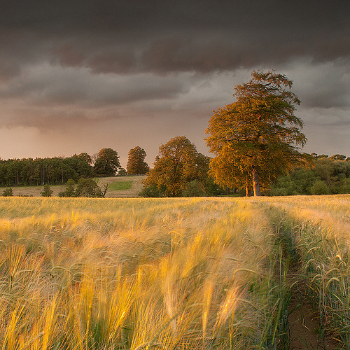 bluepueblo:  Field of Gold, Tadcaster, England photo by mark
