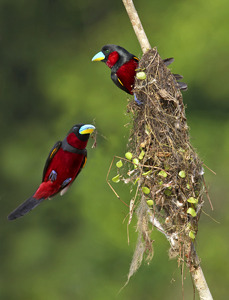 fairy-wren:  nesting black and red broadbills (photo via grguy.net)