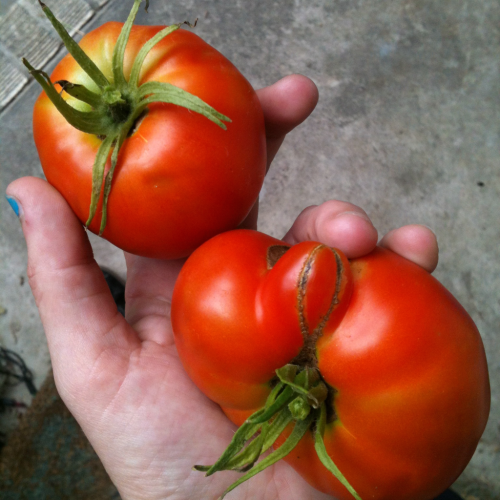 dalmatianholocaust:  First brandy wine heirlooms of the year!