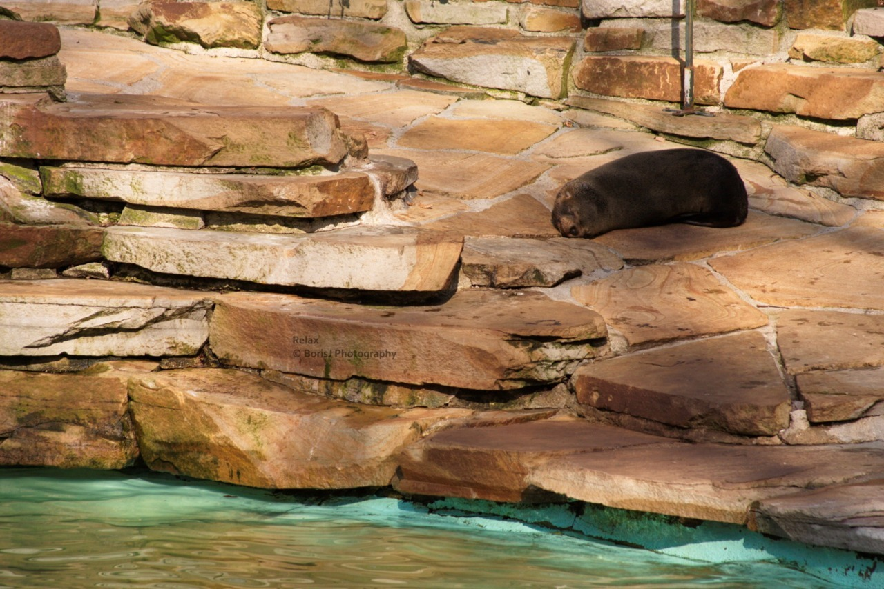 Relax Sleepy sea lion at the Dortmund Zoo. Canon EOS 40D 1/320s ISO 400 f/7 Dortmund, Germany Flickr - Twitter - Facebook - Google+ - Posterous - 500px Copyright © BorisJ Photography - Boris Jusseit - all rights reserved - please do not use this image on any media without my permission.