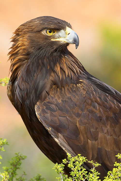 fairy-wren:  golden eagle (photo by grguy)