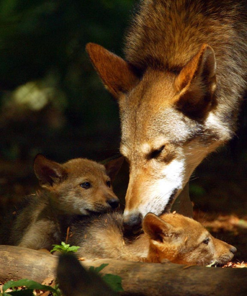 Happy Mother's Day everyone! Here's a picture of a Red Wolf with its cubs at Alligator River National Wildlife Refuge in North Carolina, which serves as the core area for reintroducing Red Wolves into the wild.Photo: Greg Koch