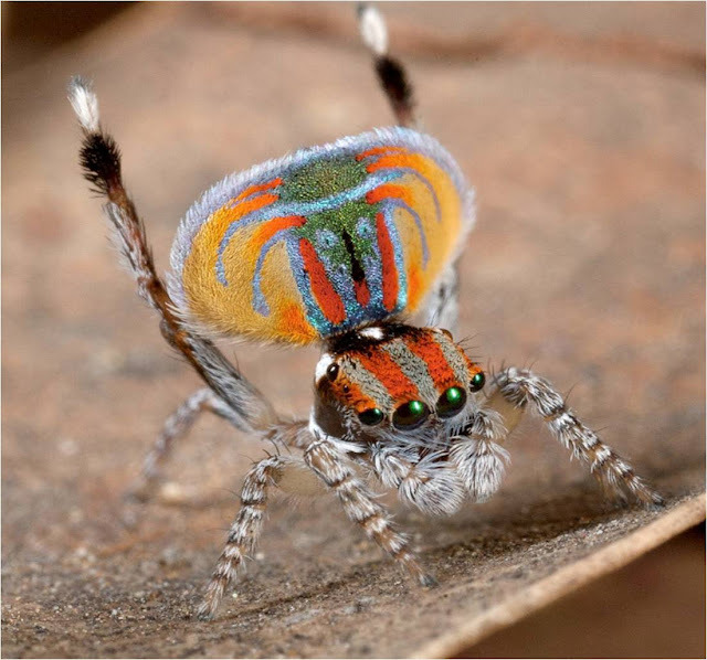 koosnya:  harvestheart:  Tiny Peacock Spider  (Peacock spider  Image Credit Flickr User Jurgen Otto) Australia is home to many strange and unusual animals, something the majority of us know. When asked, most people would say that it is the marsupials of the country that are the most significantly different to the rest of the world.  Perhaps that assumption should be questioned – Australia is also home to the tiny Peacock Spider, whose behaviour and appearance is nothing short of startling.   lehetne a törzsfönök