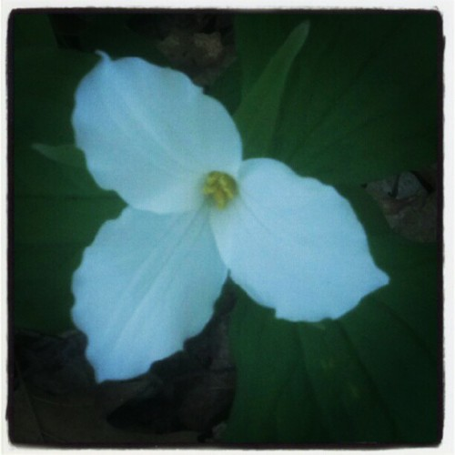 Snow Trillium #flora (Taken with Instagram at Old Dorris Forest)
