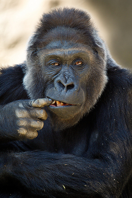 Gorilla_M6E0755 by day1953 on Flickr.You got something in your teeth right there.