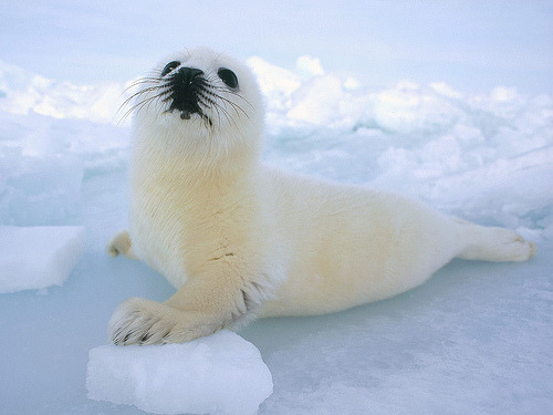 Baby Harp Seal - And Astronomical connections. (by Luke Bryant)