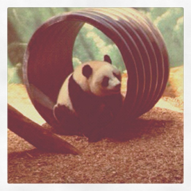 #kungfu #panda #baby #bear #animal #zoo #atlanta #georgia (Taken with Instagram at Zoo Atlanta)