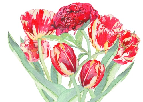 eatsleepdraw:  Last of the tulips first of the peonies
