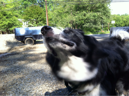 A quick shake by the Jibblet before we resume the walk. (May 14, 2012)