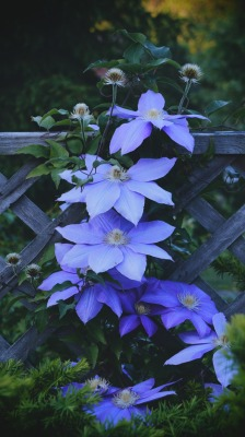 My mom's clematis finally bloomed :)