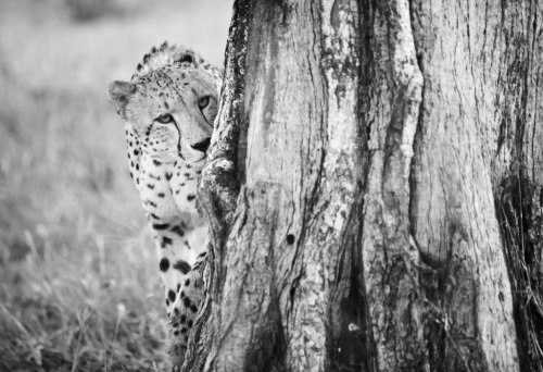 A male cheetah inspecting a tree that him and the other three males in his coalition commonly uses as a scent post.  www.shaunwalton.com Fan page: Shaun Walton Photography