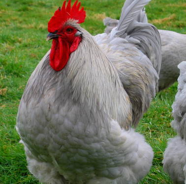fuckyeah-chickens:  English Lavender Orpington Rooster.