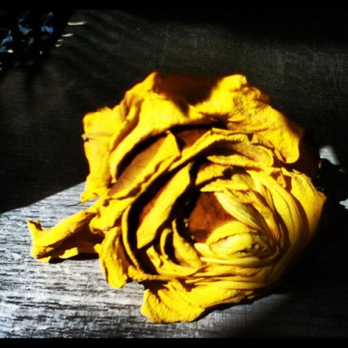 #dying #rose #yellow #brown #end  (Taken with instagram)