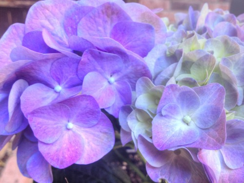 Hydrangea Series…..by Jeanean Gendron Lovely in the Garden are these Hydrangea. Studying the light and shades that come and go in my garden. Enjoy!