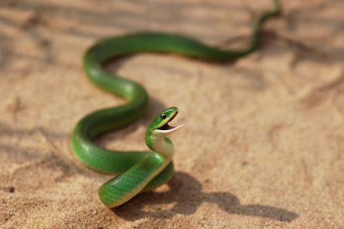 rhamphotheca:  animals-animals-animals: Eastern Smooth Green Snake (Opheodrys vernalis) (photo by squamatologist)