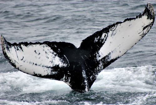 neaq:  Mother's Day was a beautiful day for whale watching! The New England Aquarium Whale Watch heads out twice every day now… check out the two trip reports from yesterday.