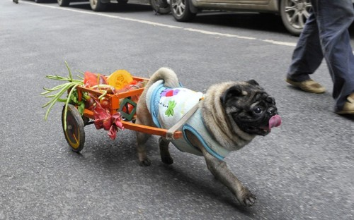 A four-year-old pet pug named Xi Wa (Happy Boy) carries his owner's shopping in a small cart in Changsha, capital of southern China's Hunan Province.  Picture: Quirky China News / Rex Features